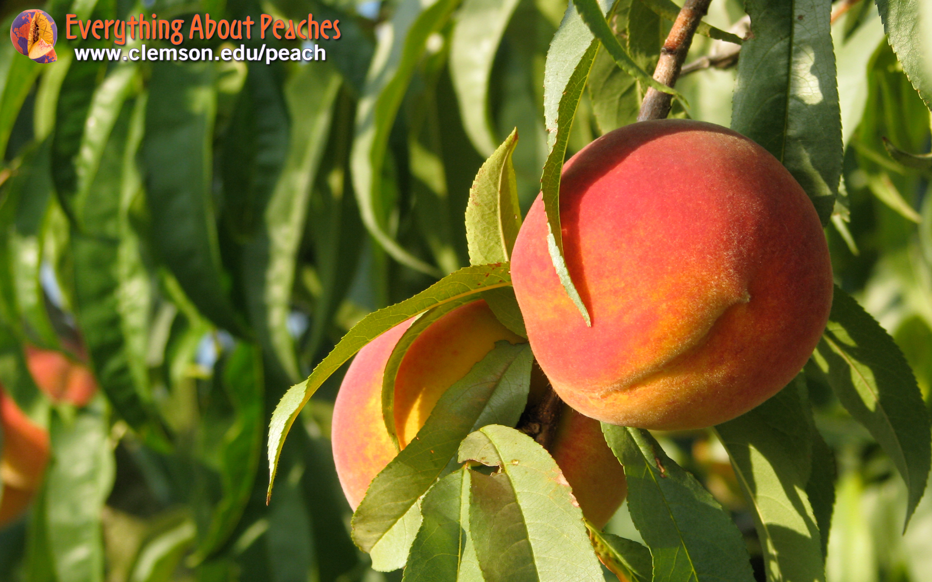 Peach tree wallpaper 166844 for The peach tree