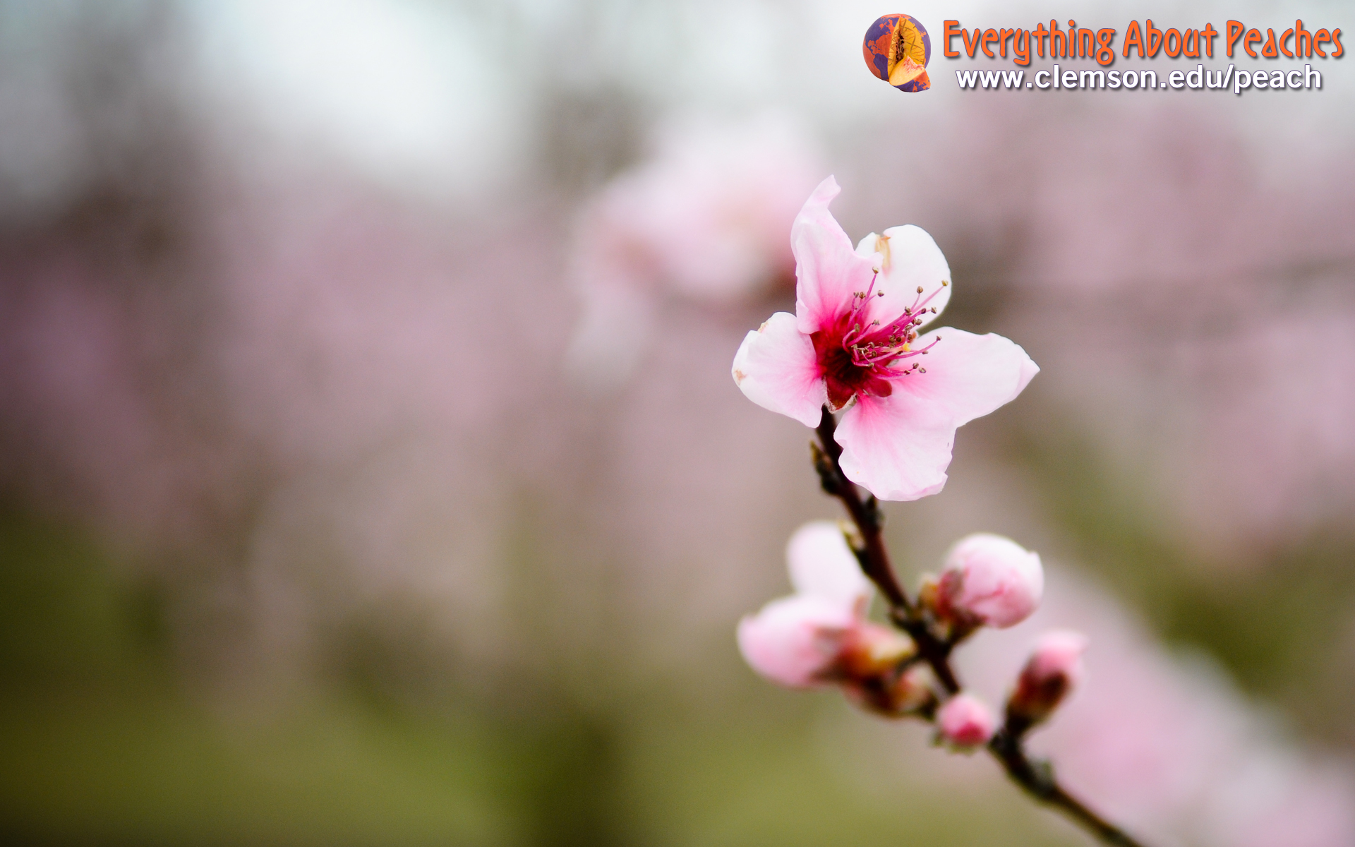 peach blossoms wallpaper - photo #8