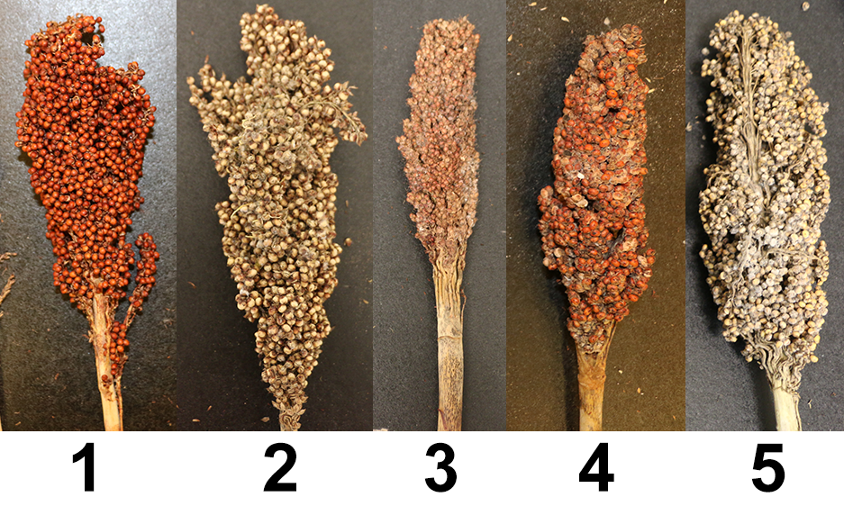 Variation in host plant resistance to grain mold.