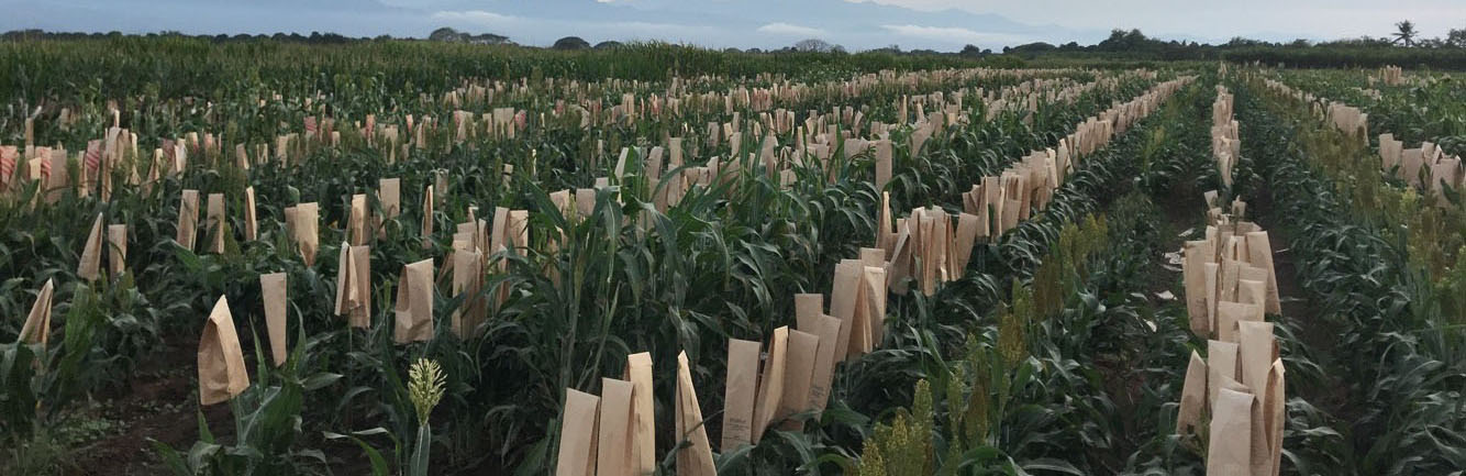 Sorghum lines field tested