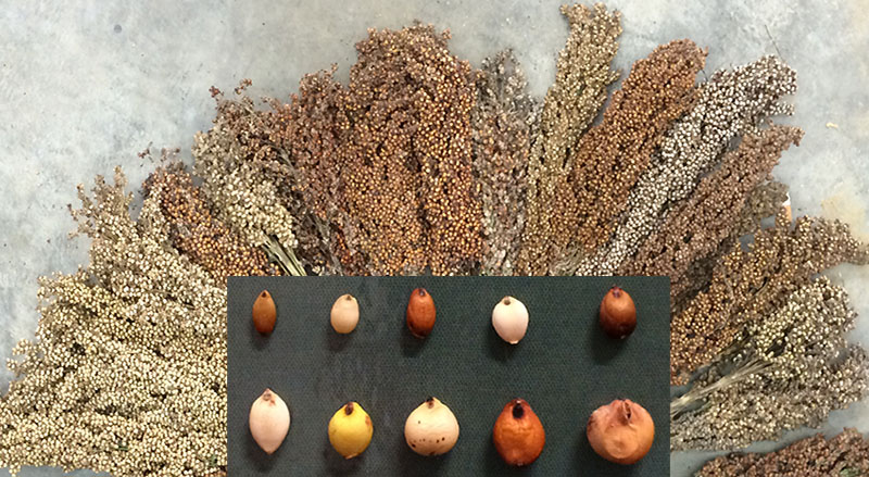 Sorghum panicles and seed variation