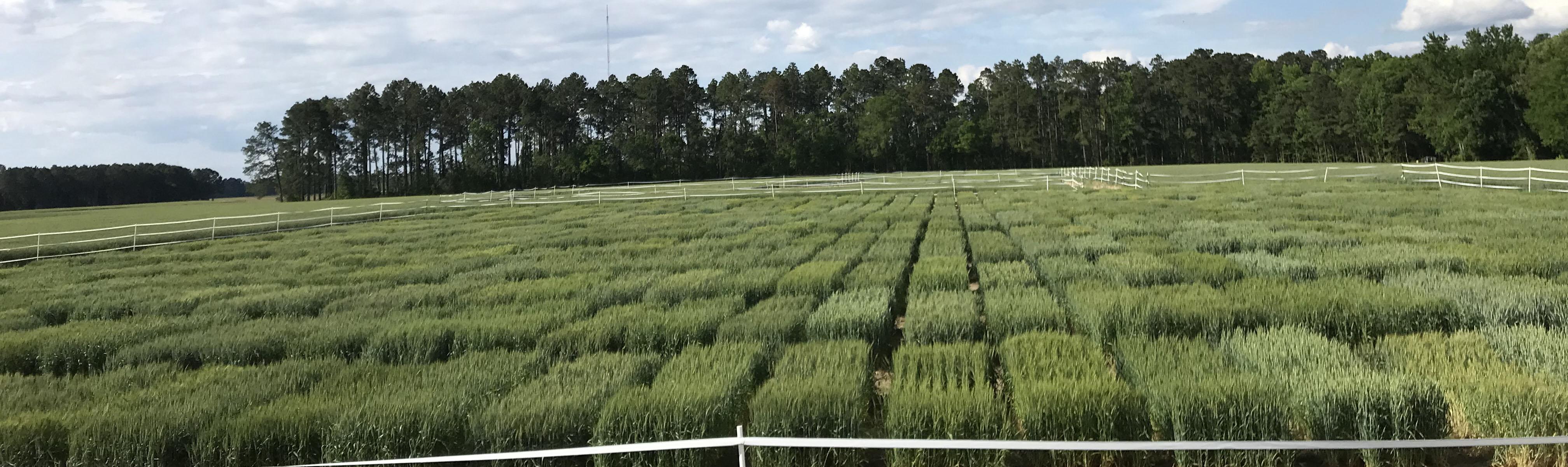 Wheat 2018 Nursery